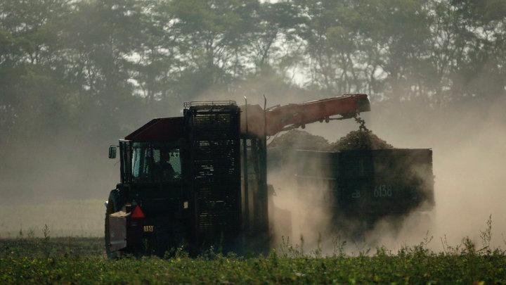 Уборка урожая сахарной свеклы на Кубани